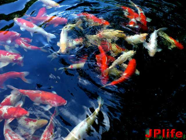 Peace koi living life with a passion for Koi passion