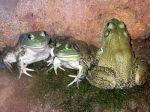 American Bull Frogs