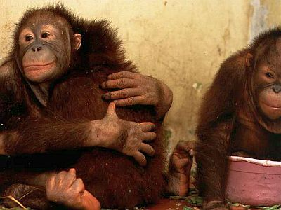 orangutan-hugs